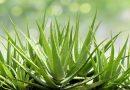 Aloe Veranın Faydaları